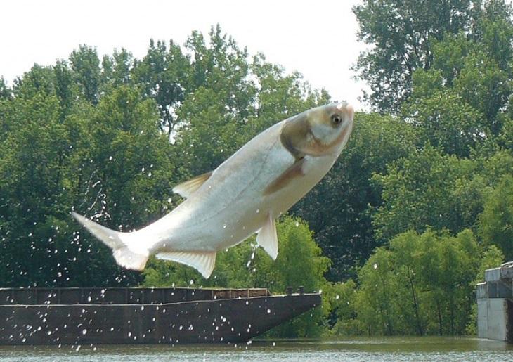 толстолобик что за рыба как готовить