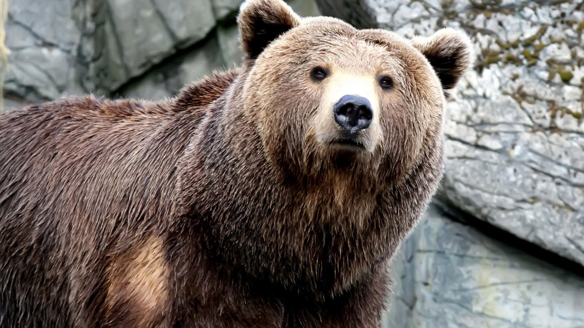 Скачать бесплатно звук шагов медведя