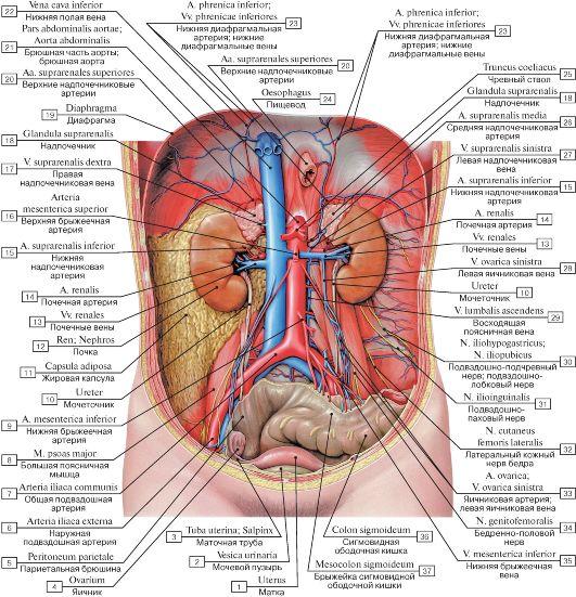 органы брюшной полости фото