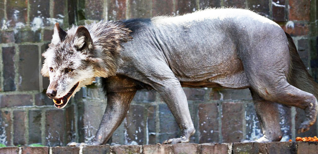Тату волка и волчат картинки пишут