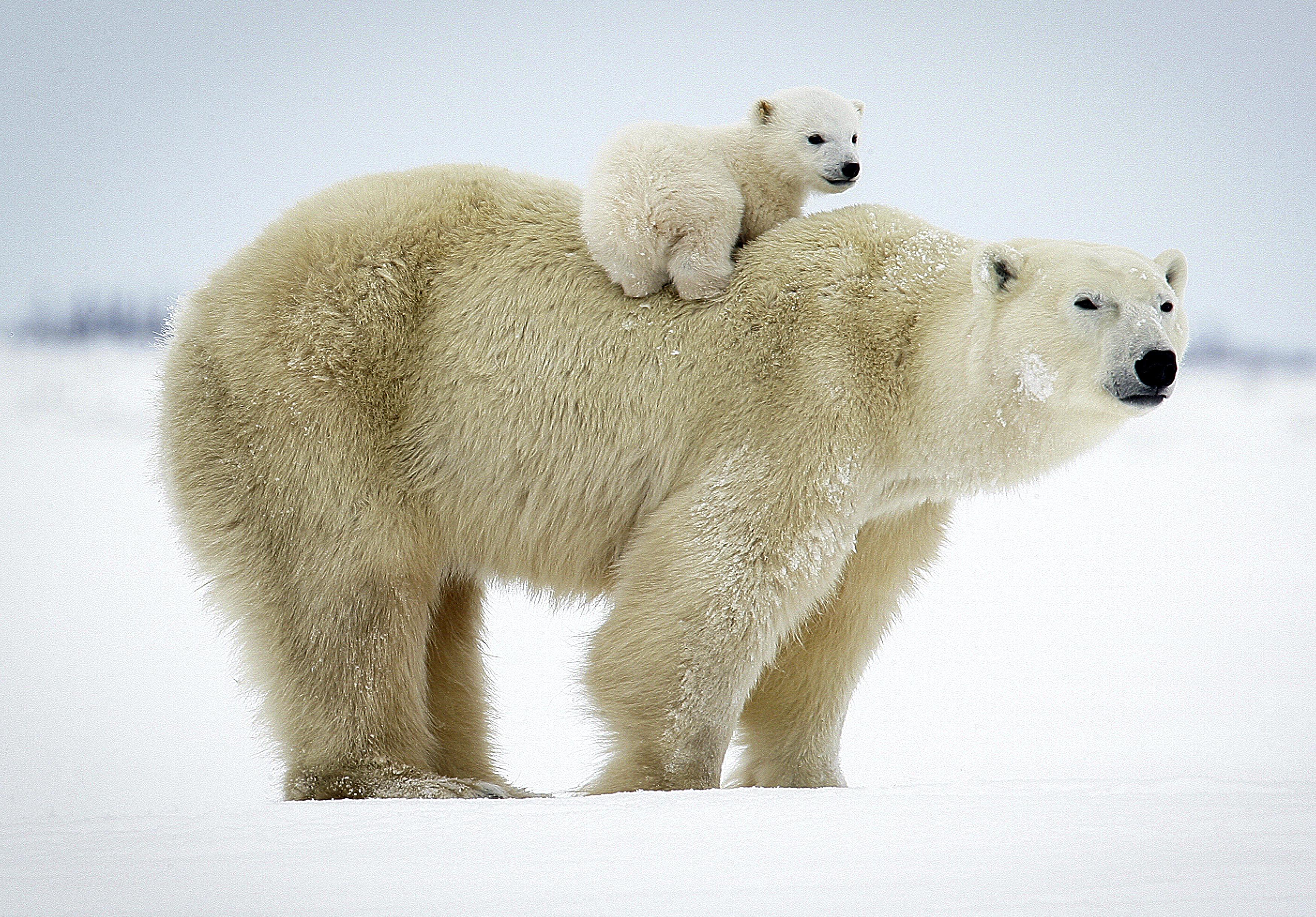 этот фото белой медведицы с медвежонком чего