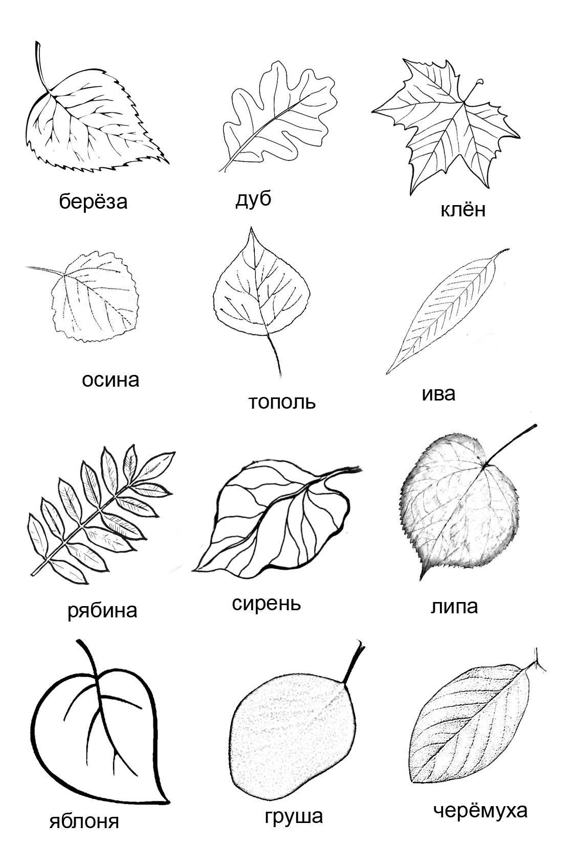 поможет картинки листов клена березы дуба своем микроблоге весьма
