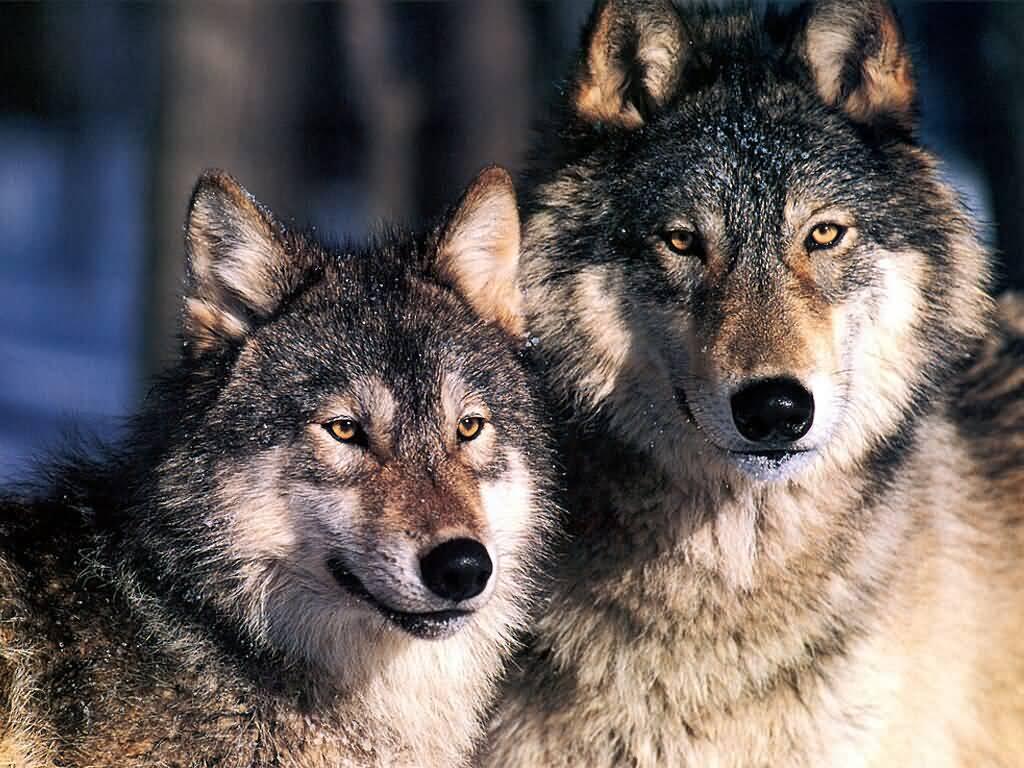 два волка картинки