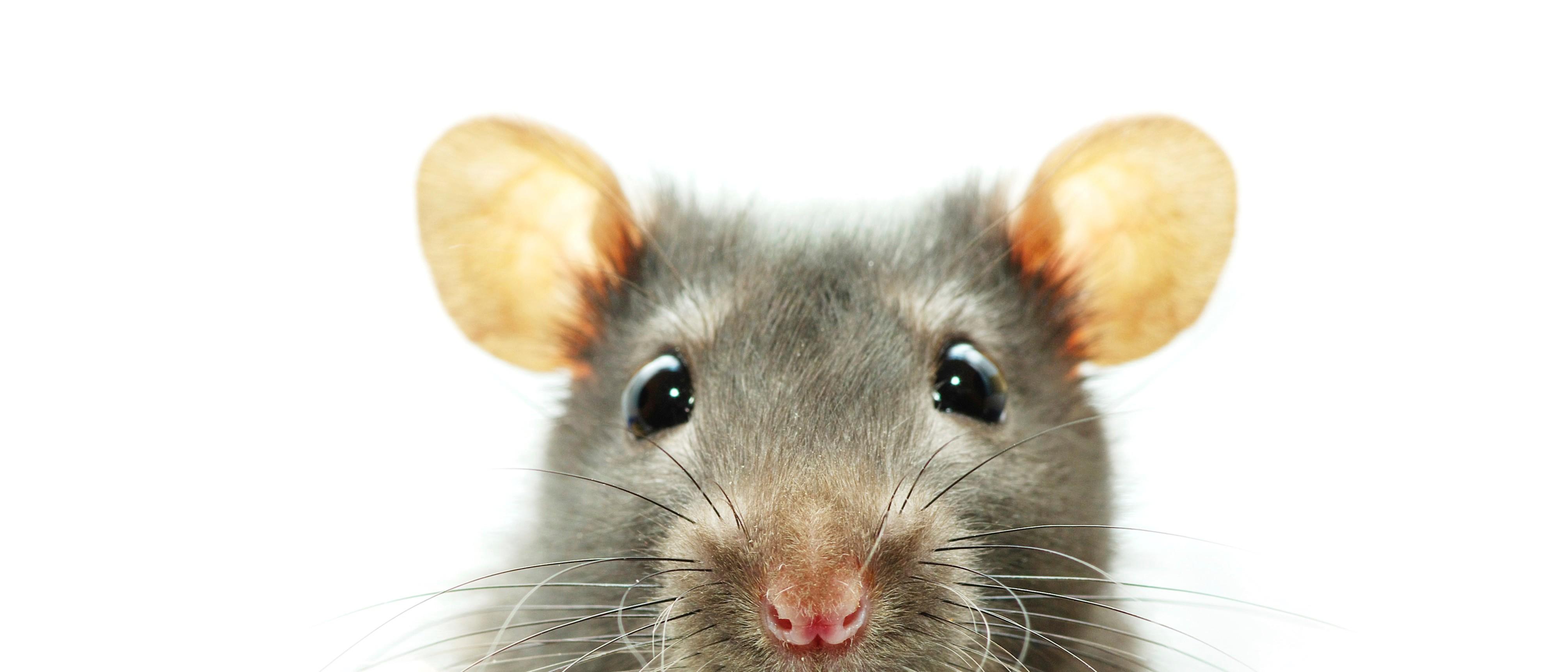 Смешная мышь картинка, картинки апреля