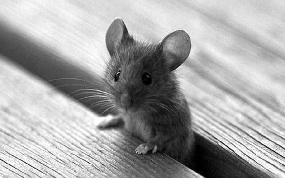 мышки картинки красивые снимке