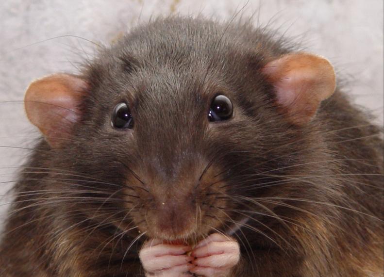 Открытка мая, картинки про крыс смешные
