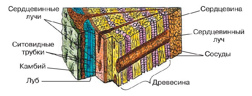 Сердцевинные лучи древесины фото