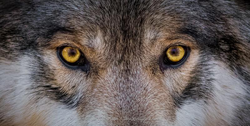 хорошей глаза волка у человека фото фотографы электростали удобный