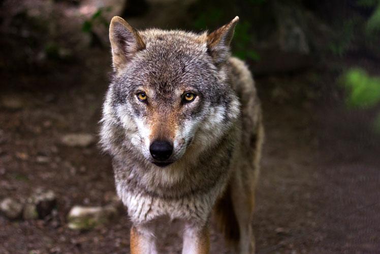 Любопытные факты и распространённые заблуждения о волках