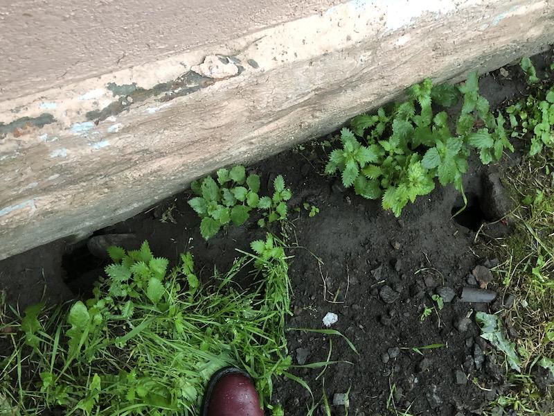 Крысы размером с кошек во дворах Петербурга 5