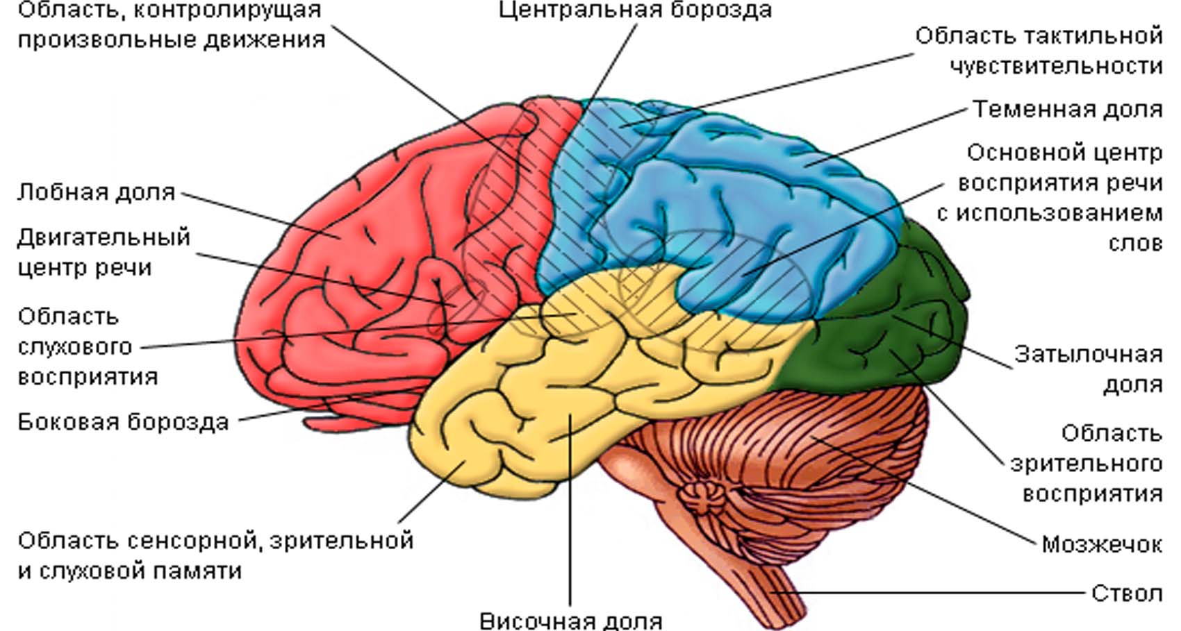 Области мозга и их функции