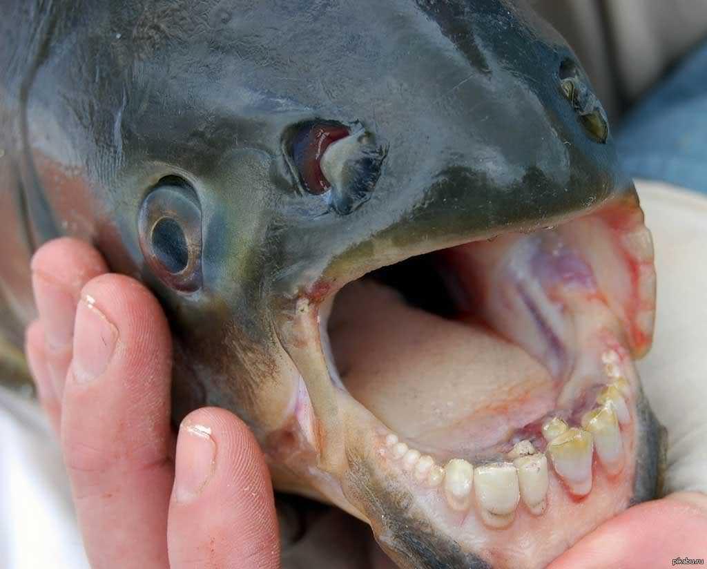 как рыба с огромными зубами фото всего получается