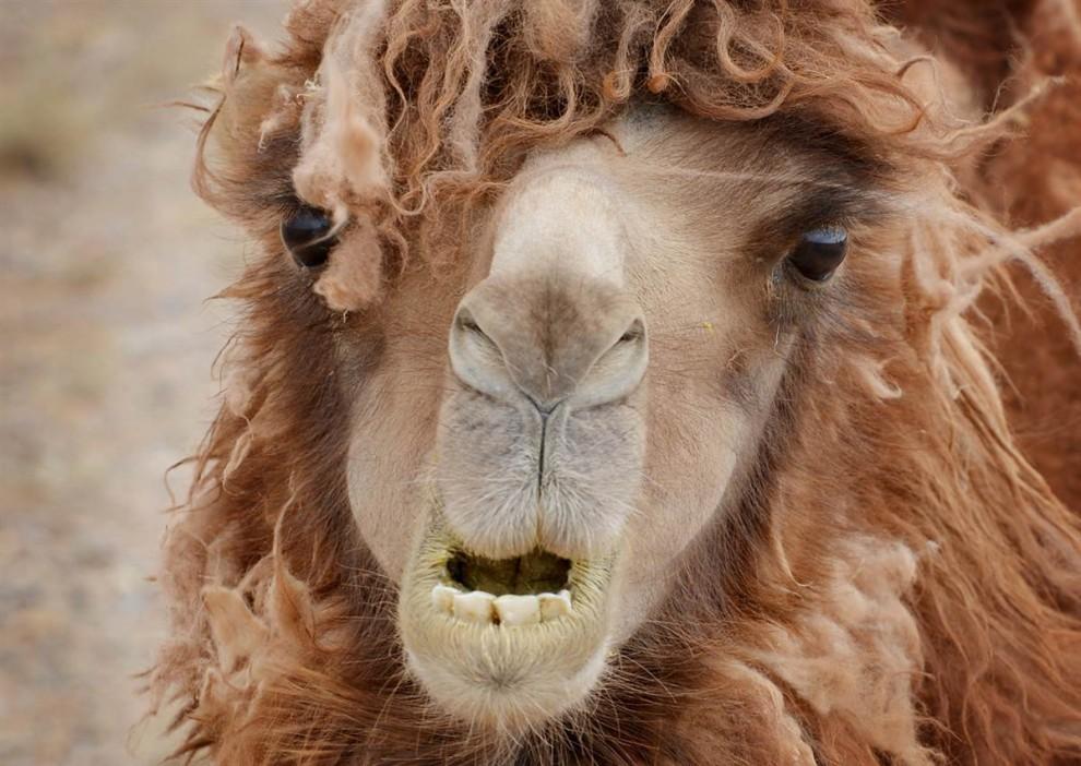 Верблюд смешной картинки, открытки